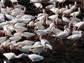 Flock Of Ibis1