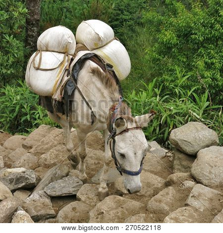 Mule Carring Goods From Lukla