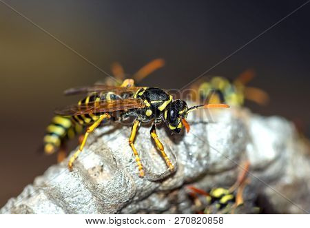 Wasps Build A Nest Wasp