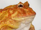 Big yellow frog.