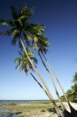 picture of surigao  - coconut palms overlooking cloud 9 surf break on siargao island mindanao the philippines - JPG