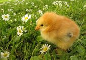 Chick and daisy field