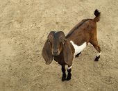 pic of anglo-nubian goat  - Nubian Goat - JPG