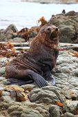 cute wild seal at Seal colony Kaikoura New Zealand