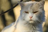 Portrait Of A Cute Beige Cat. Blurred Background. Sunny Day. Close-up. poster