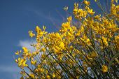 Yellow Gorse Bush