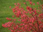 Fall Burning Bush