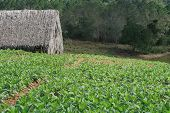 image of tobacco barn  - Tobacco plantation with farm barn in the background - JPG