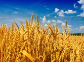 stock photo of whole-wheat  - wheat field - JPG