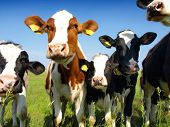 stock photo of calf cow  - Calves on the field - JPG
