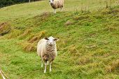 Sheep Graze In The Meadow. Sheep Walk On The Grass. A Ram Eating Grass On A Scorch. Sheep Graze In T poster