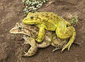 Frog Sex Animal Mating