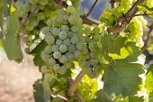 Bunches Of Green Grapes On Vineyard