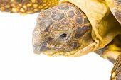 picture of testudo  - a young tortoise  - JPG