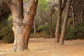 mediterranen Pinien Bäumen Stamm in Corsica siland