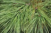 Pine Tree Needle Bough Closeup Texture