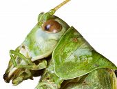 Extreme Macro Shoot of Green Bush Cricket Head