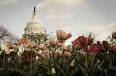 US Capitol Building with tulips foreground - Split toned
