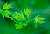 foto of maple tree  - maple tree in spring - JPG