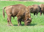Aurochs (european bison) family in the captivity