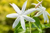 picture of jasmine  - Jasmine flowers on a bright sunny day - JPG