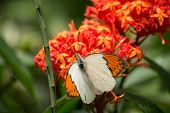 The Great Orange Tip Butterfly On Ixora Flowers Extreme Close Up