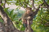 Monkey (macaque Rhesus) Sitting On Tree