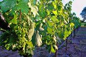 Organic Grapes Vineyard