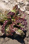 Purple Leaf Lettuce