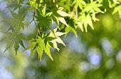 Verdure Maple