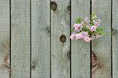 Lila a través de una valla