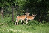 Herd Of Buckes On Pasture