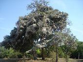 Un árbol de araña