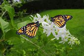 stock photo of monarch  - A view of two Monarch butterflies Latin name Danaus plexippus - JPG