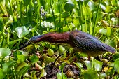 A Green Heron with Fully Extended Neck Intent on Chasing Down a Meal.