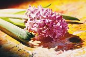 Pink Hyacinth Flowers
