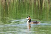 stock photo of great crested grebe  - Great Crested Grebe wimming in water - JPG