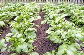 image of solanum tuberosum  - Potato plants  - JPG