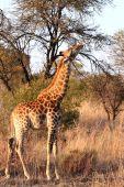 Giraffe In Afternoon Sun