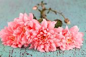 Pink chrysanthemums on blue wooden table