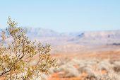 Creosote Bush Against Mojave Desert
