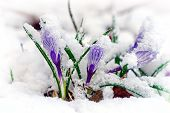 stock photo of early spring  - Purple Crocuses pushing their way up through the snow.