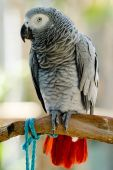 African Grey Parrot 1