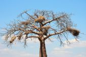 Baobab With Big Nests
