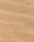 Lizard Tracks Across The Sand