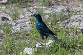 Cape-glossy Starling