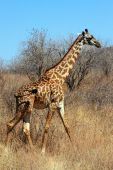 Giraffe in plain