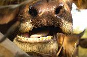 Buffalo Chewing