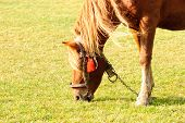 stock photo of feeding horse  - Horse on pasture graze close up close up - JPG