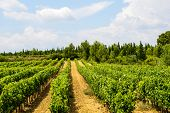 Vineyards In Languedoc-roussillon